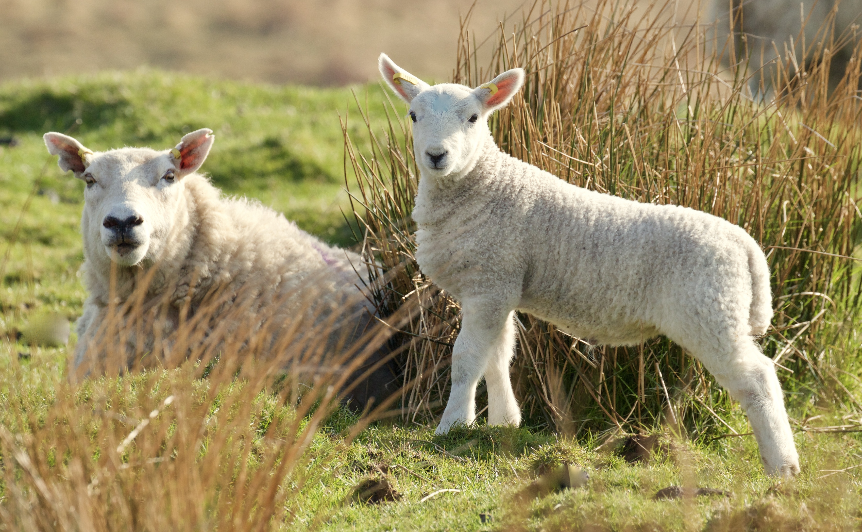 The sheep industry faces  trade, regulatory and support changes
