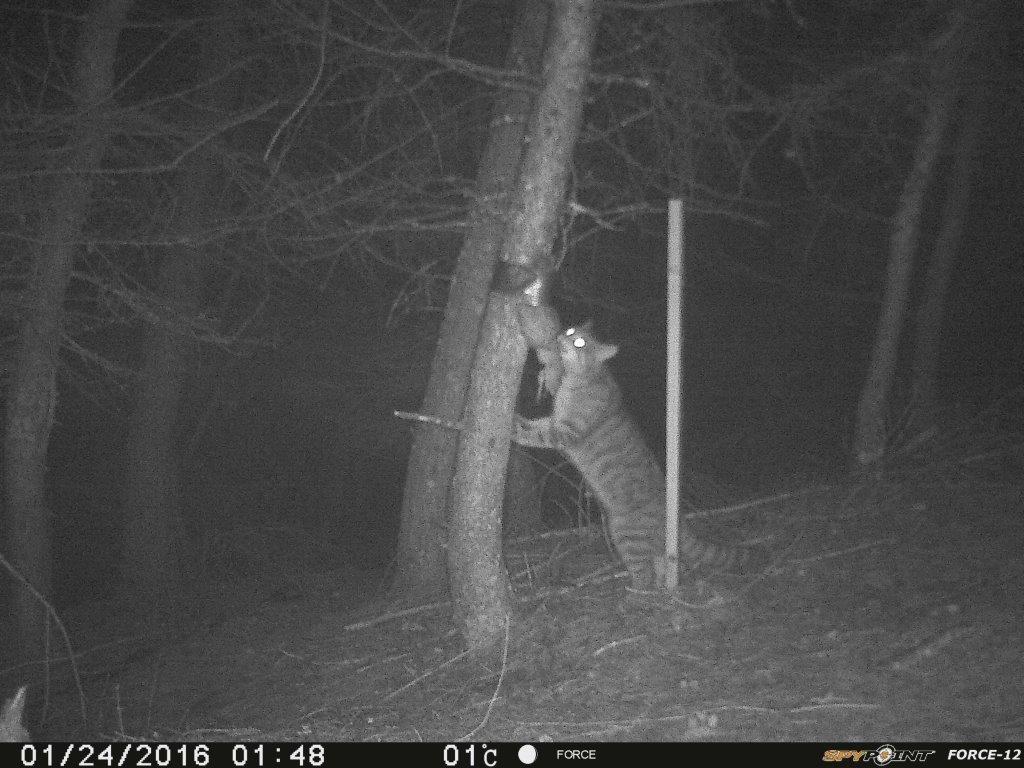 A Scottish wildcat.