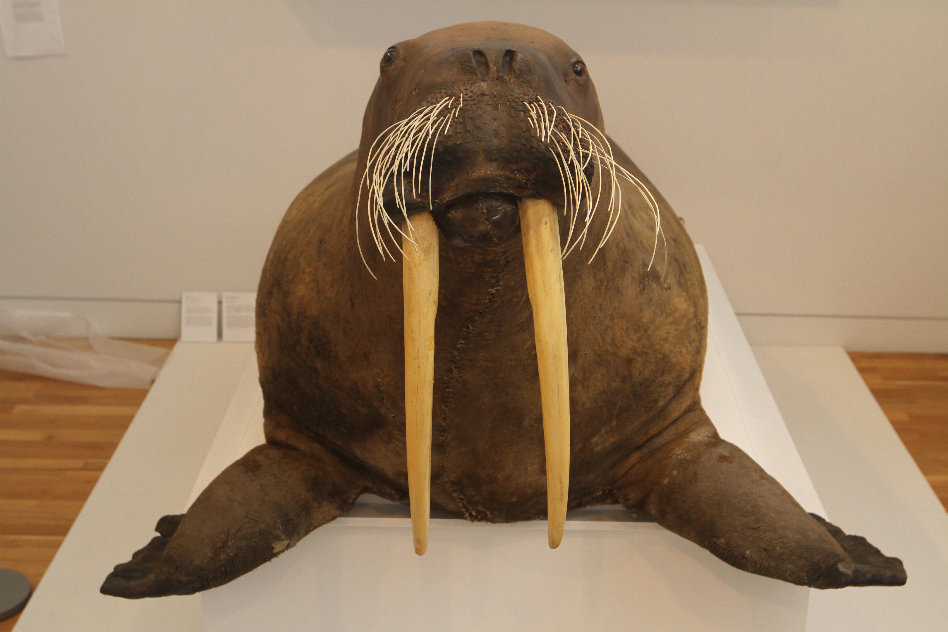 Mhairi Edwards, Courier, McManus Galleries is holding a Dundee Preserves exhibition which contains some very interesting artefacts.  Picture shows; the walrus from the exhibit. Wednesday 7th June.