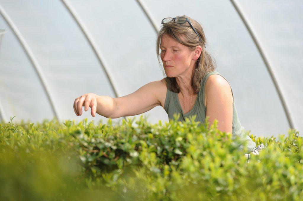 Susie Walker Munro picking tea.