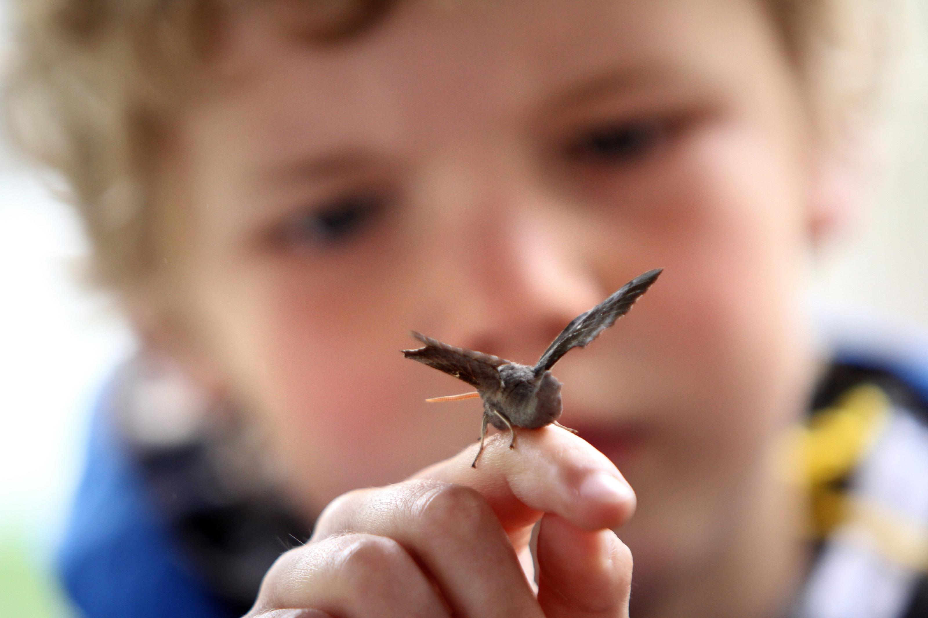 Jonah Henderson looking at a Poplar Hawk-moth.