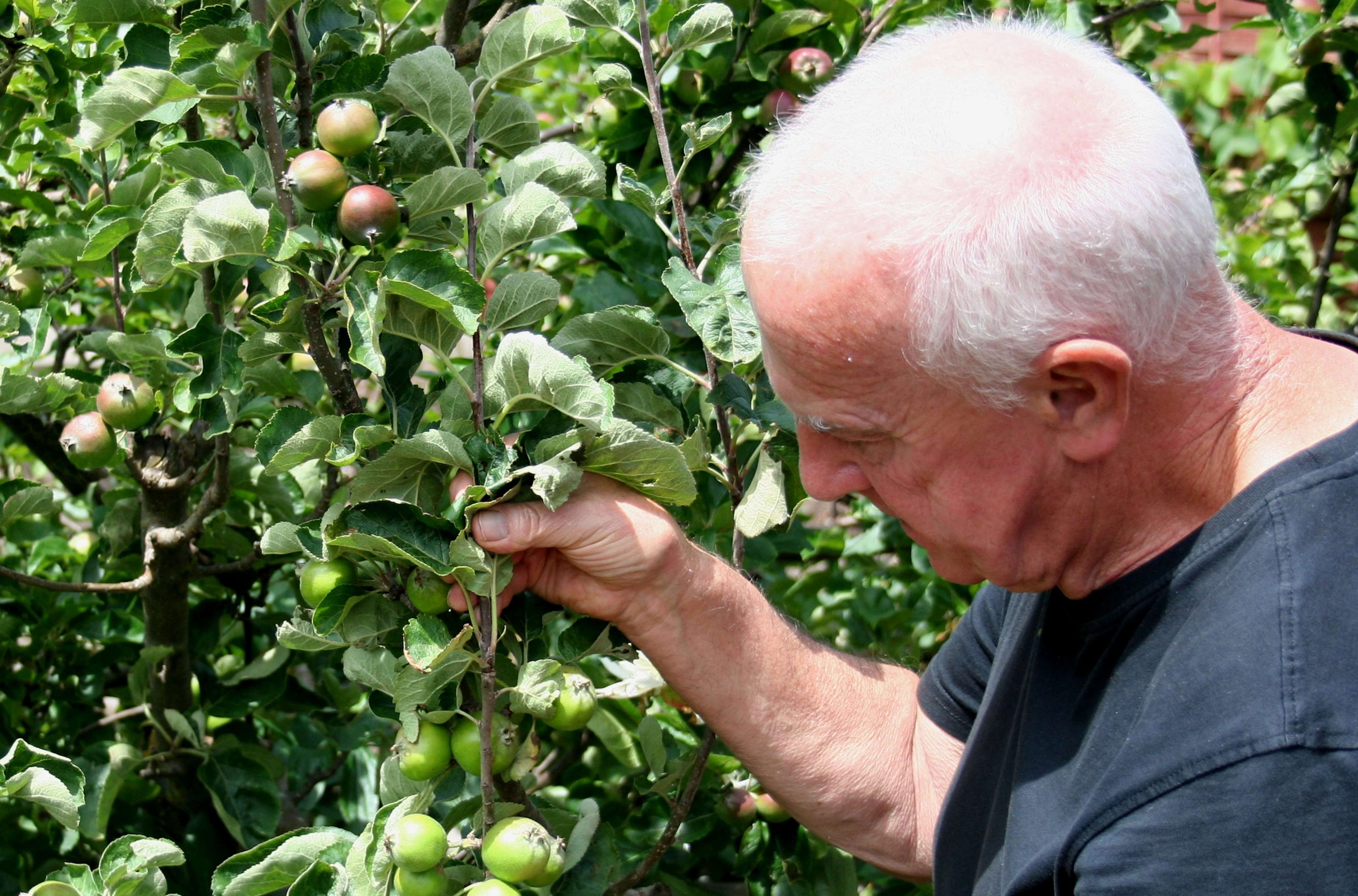 Thinning apples