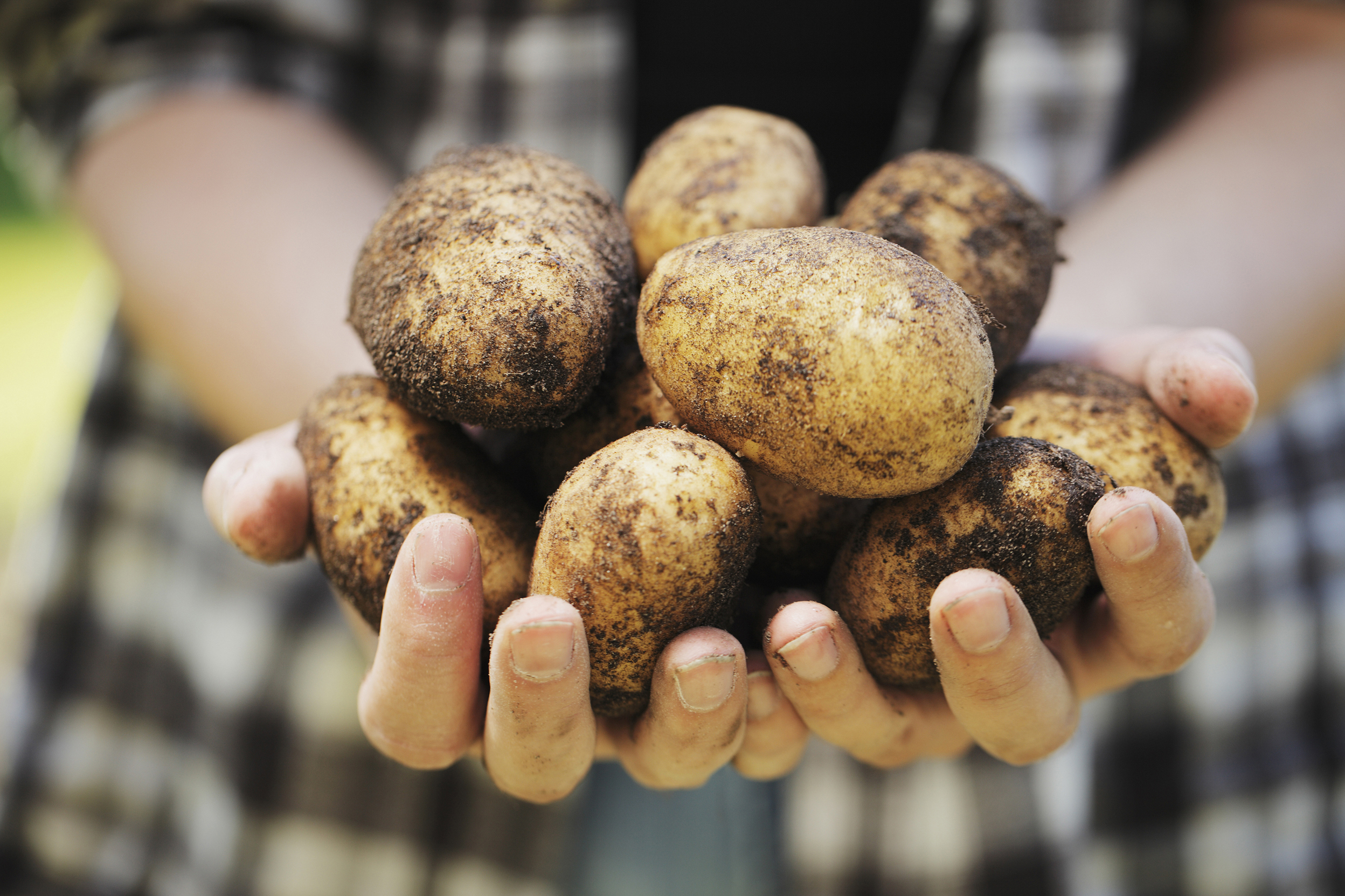Farmers could save 10-15% of their fertiliser costs and produce more potatoes.