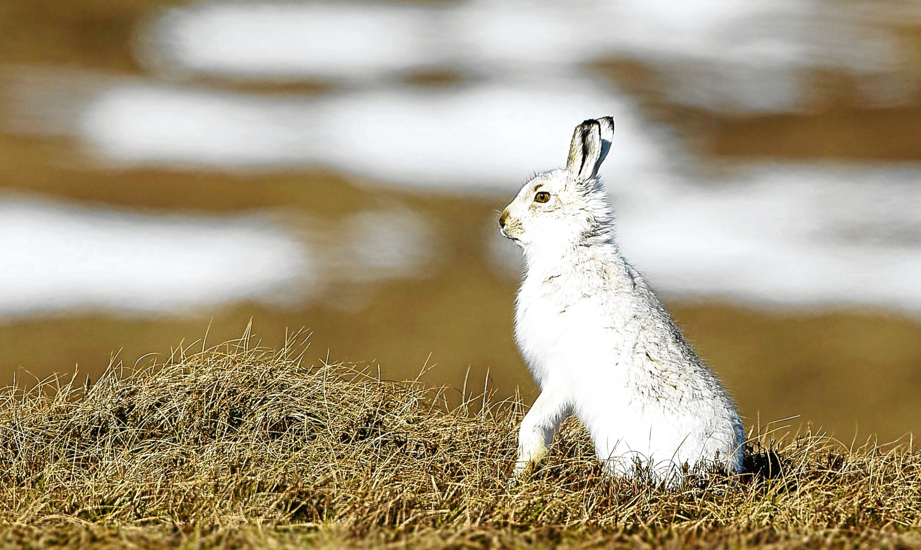 A mountain hare photographed on moorland in Scotland.