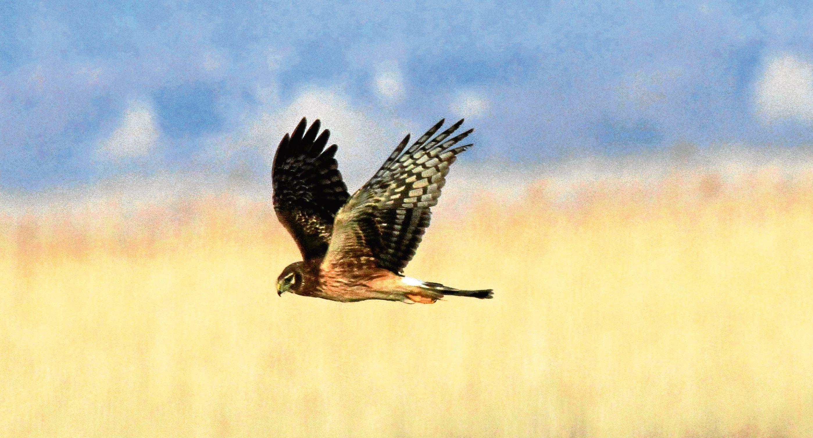 Northern Harrier Hen Harrier Circus cyaneus inflight Utah.