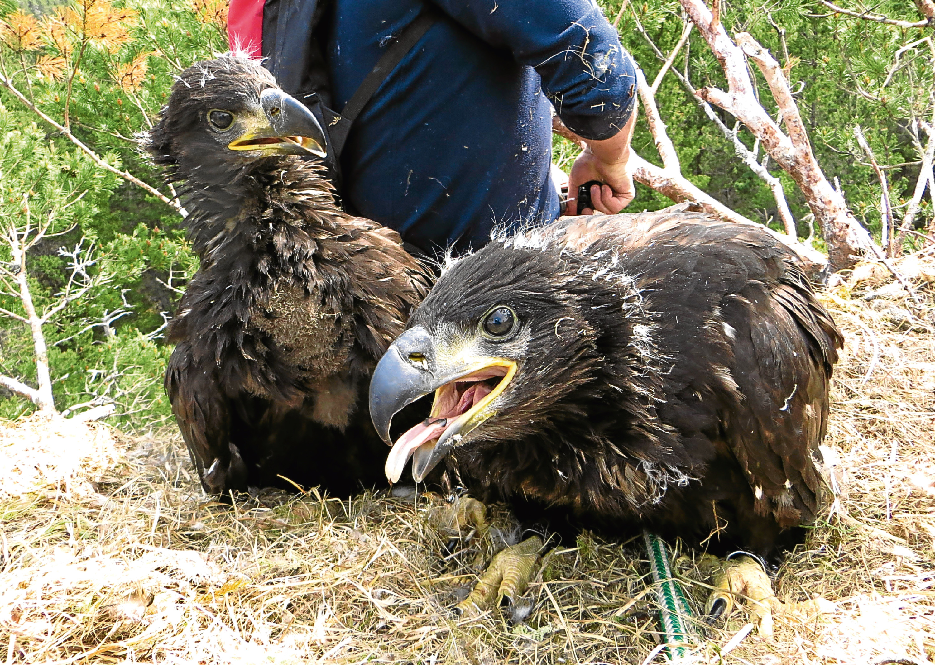 Recently-hatched sea eagle  chicks near Loch Arkaig.