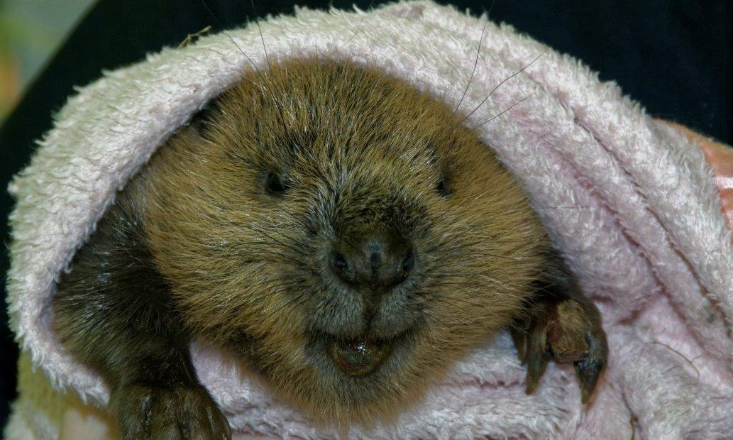 Timber the beaver