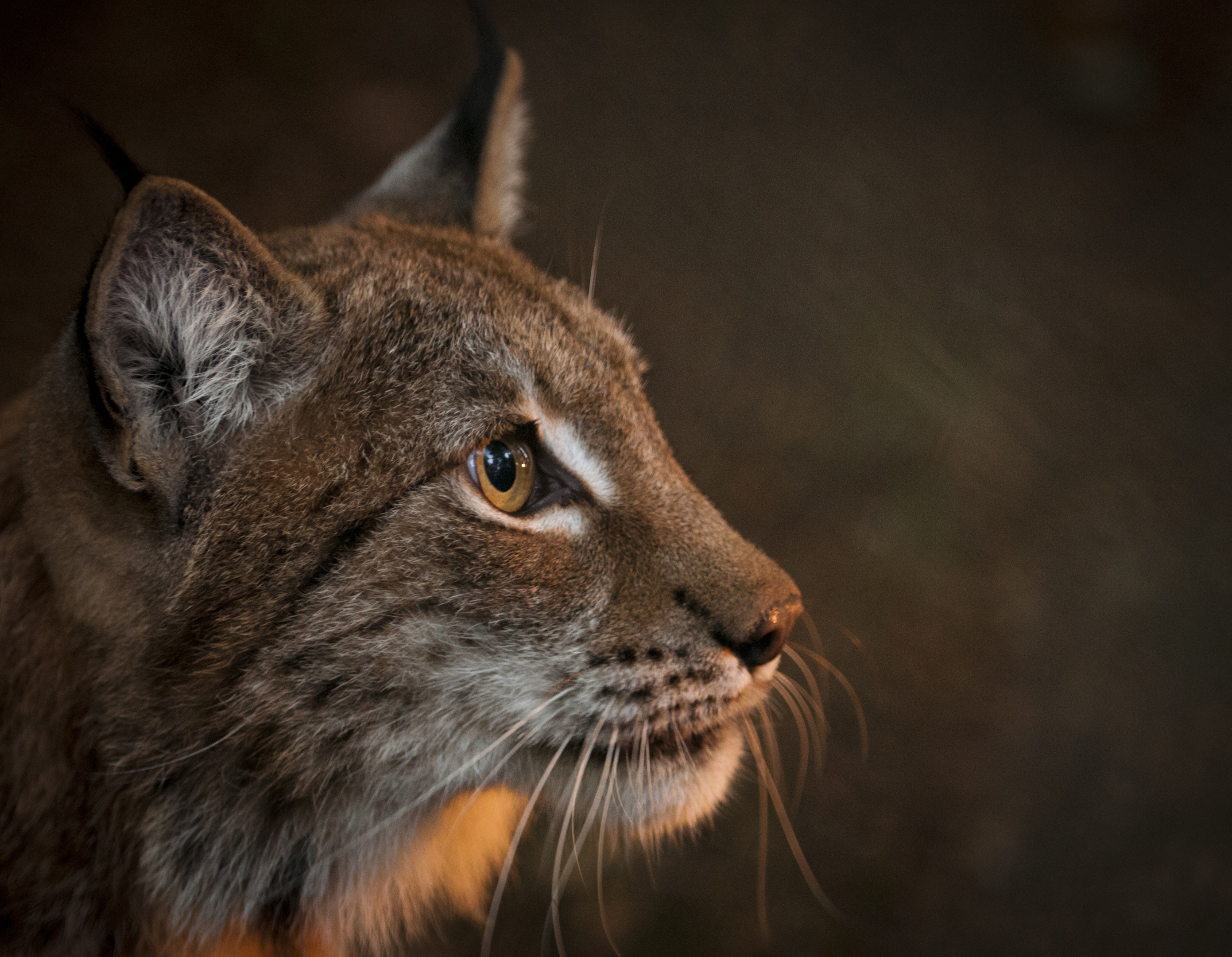 Lynx have proven to be a significant draw for eco-tourism in Europe