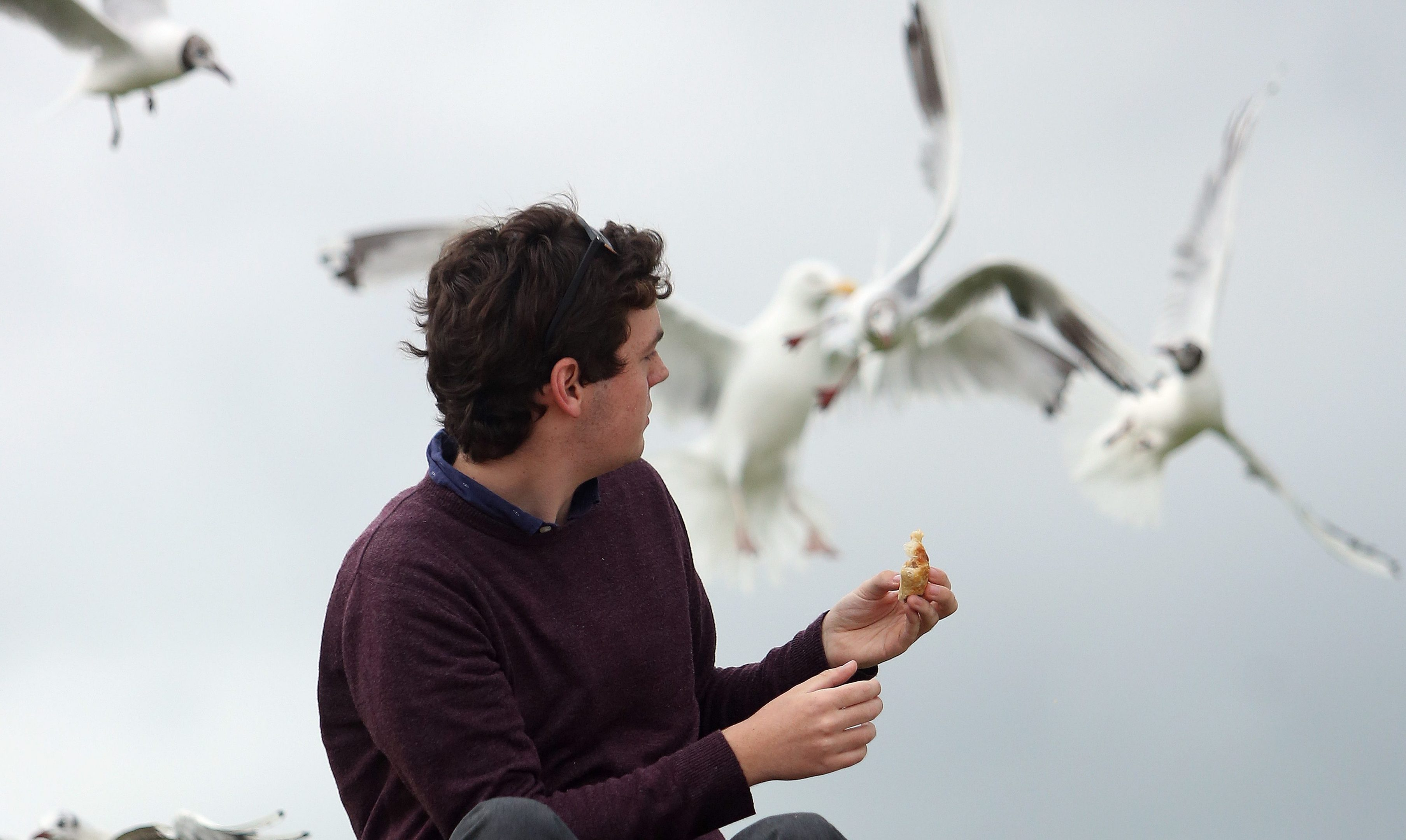 Gulls fight over food in Broughty Ferry.