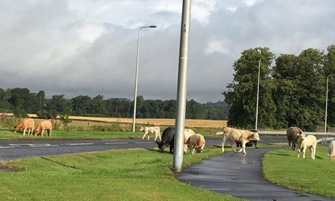 The cattle on Strathyre Avenue.