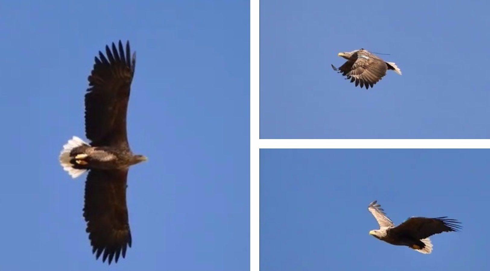 Sea eagle Turquoise Z
