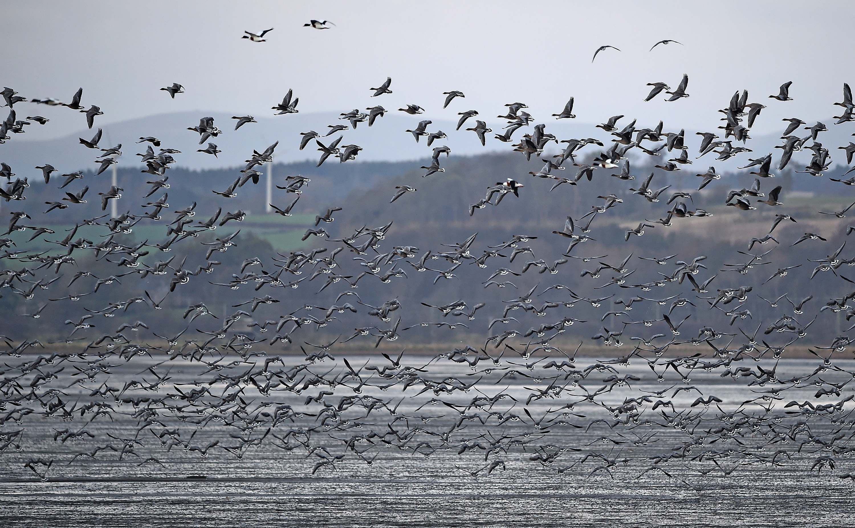 Pink-footed geese at Montrose Basin in 2017.