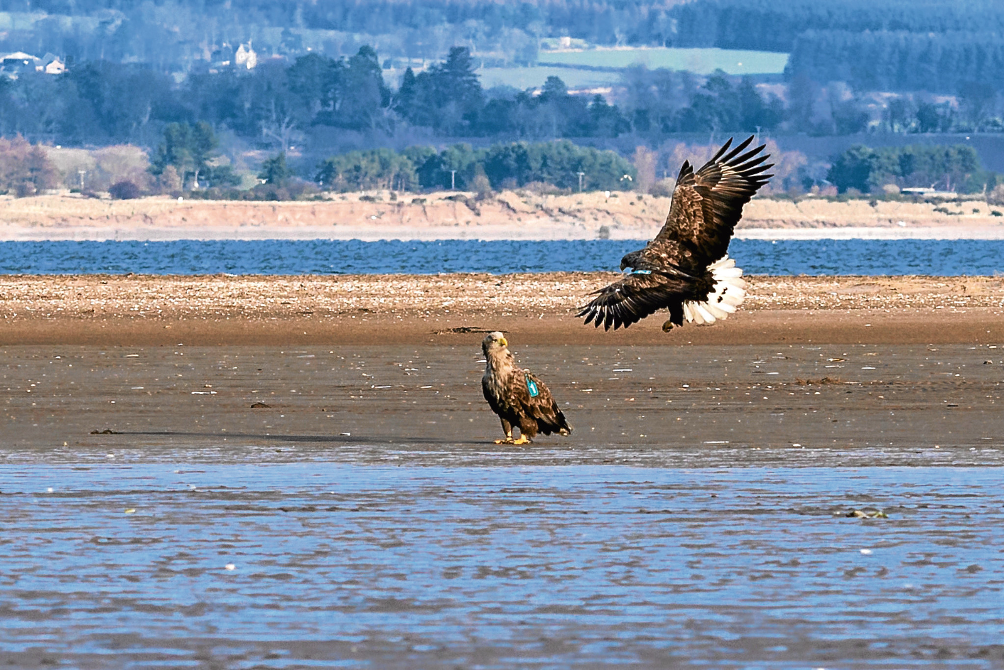 Two white-tailed eagle chicks pictured in north-east Fife.