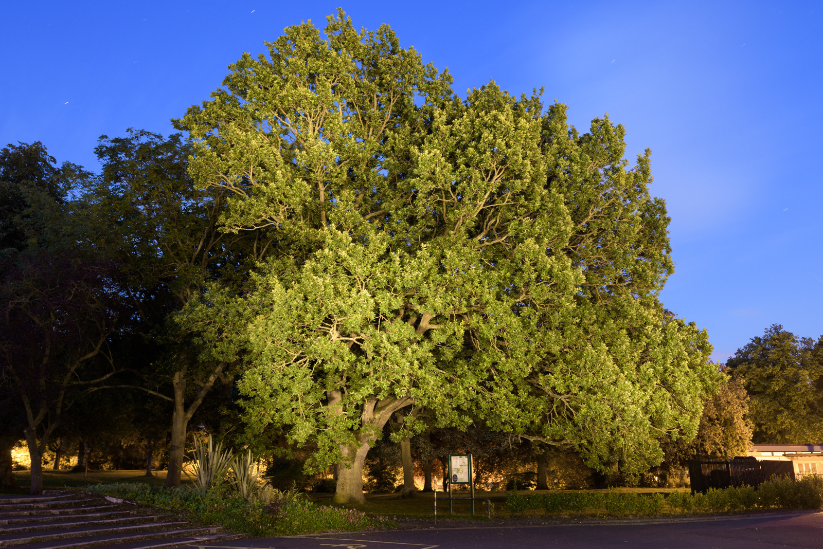 The Carnegie Oak in Dunfermline could be named Scotland's favourite tree