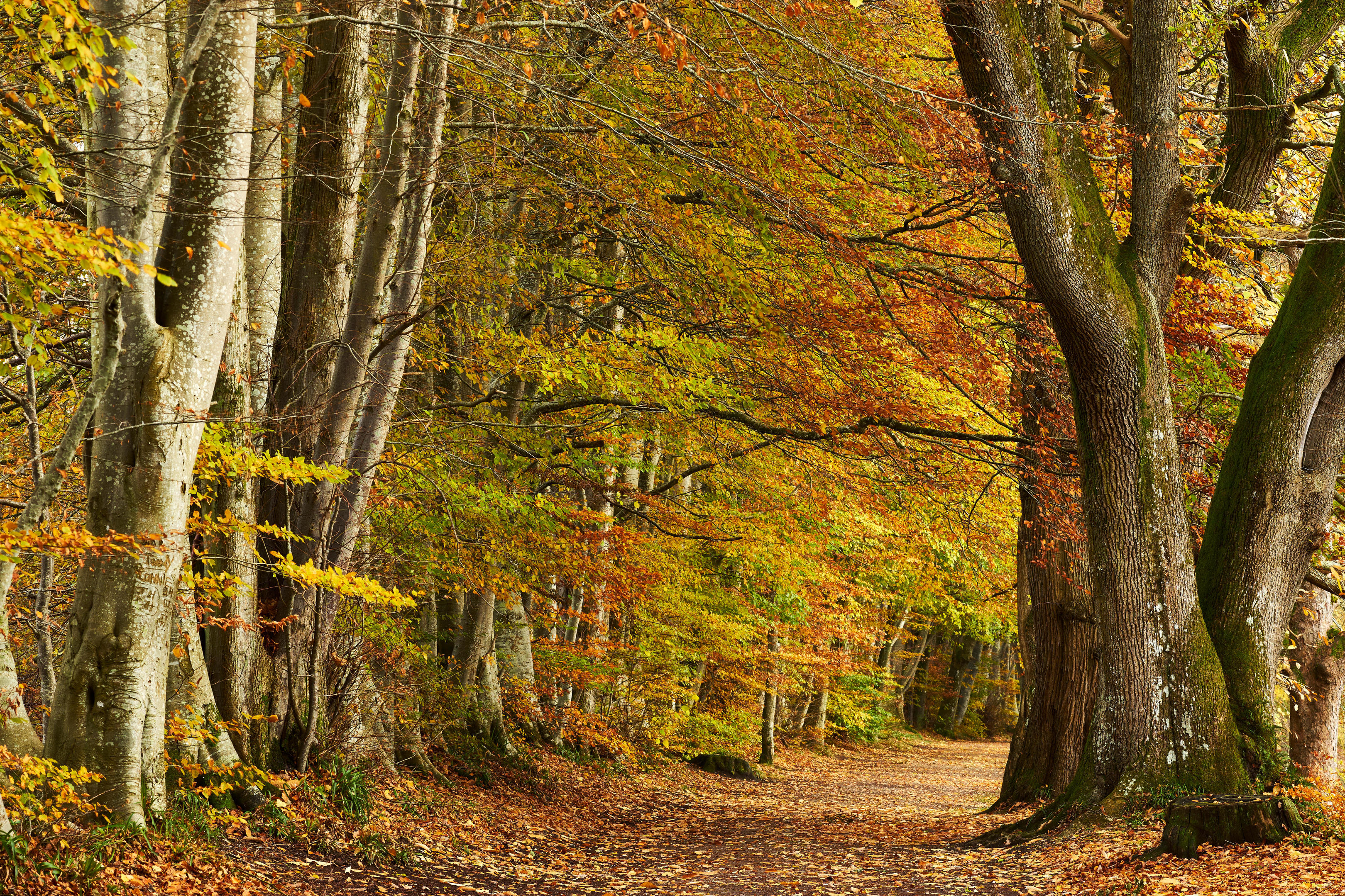 Beech trees lining Lady Mary's Walk, in autumn, Crieff, Perthshire, Scotland.
