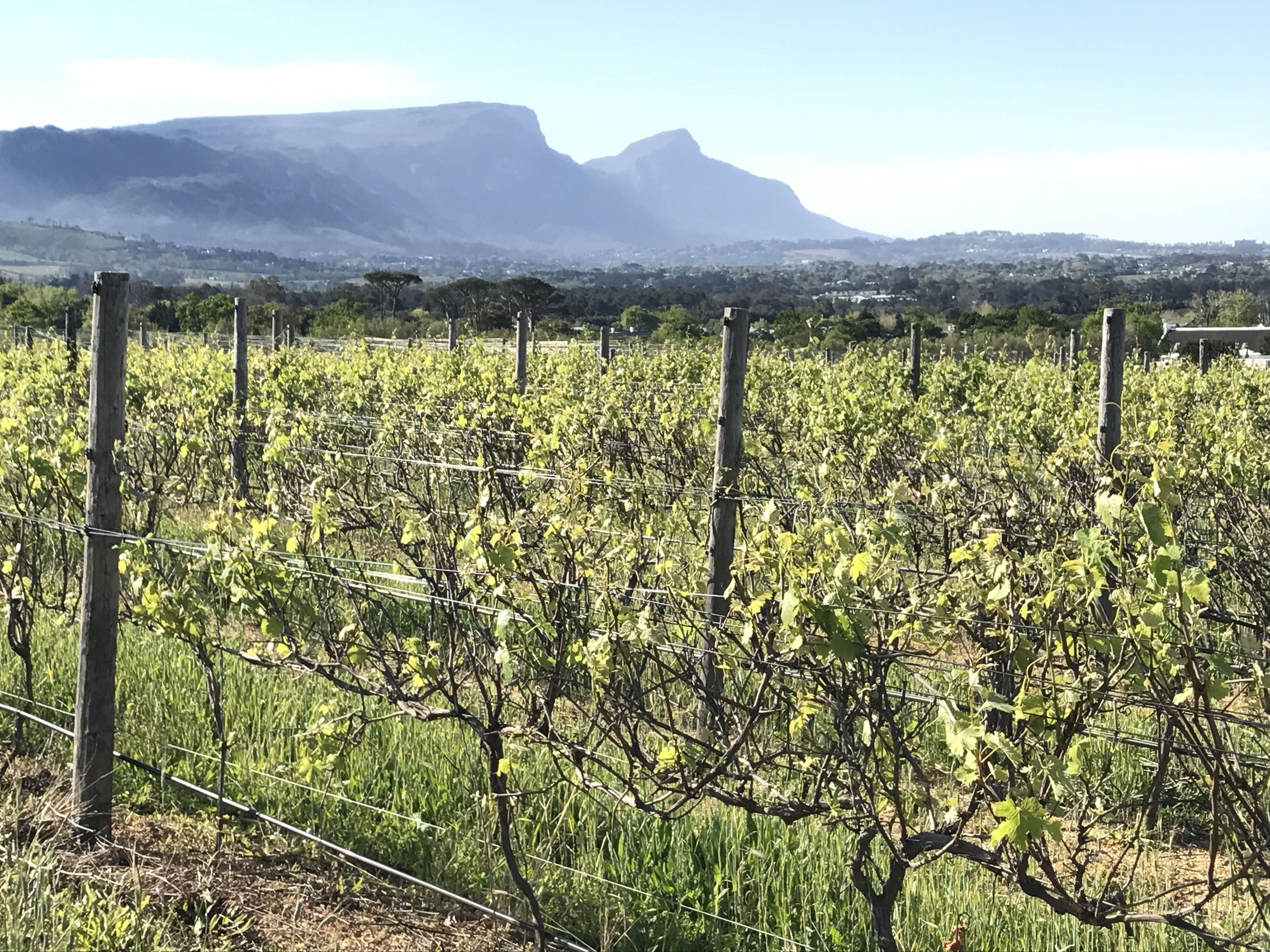 The Cape Winelands with Table Mountain in the background.