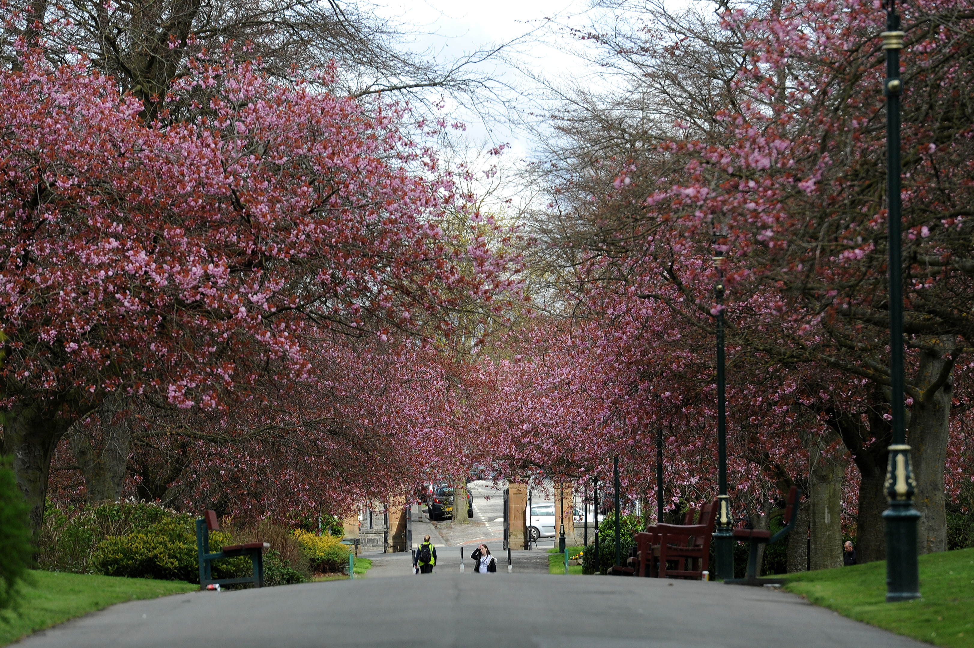 Blossom on the trees in Pittencrieff Park, Dunfermline.