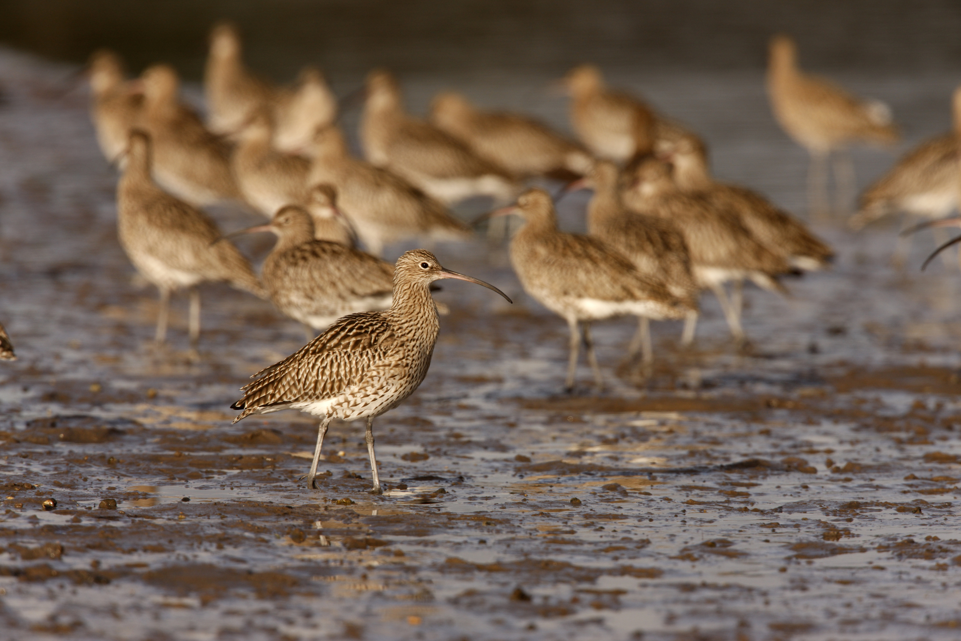 Curlews.