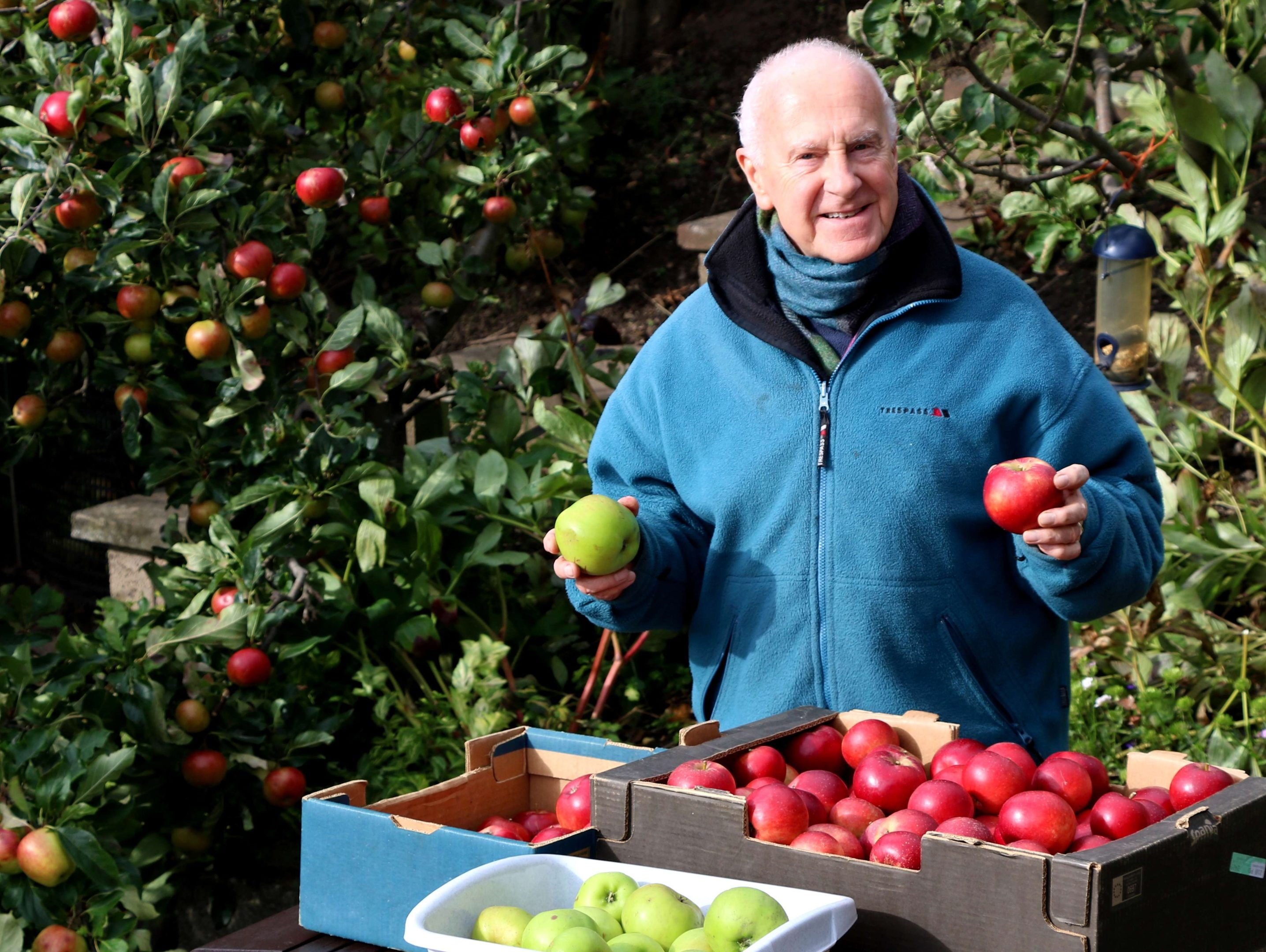 Harvesting the Red Devils and some Bramley apples