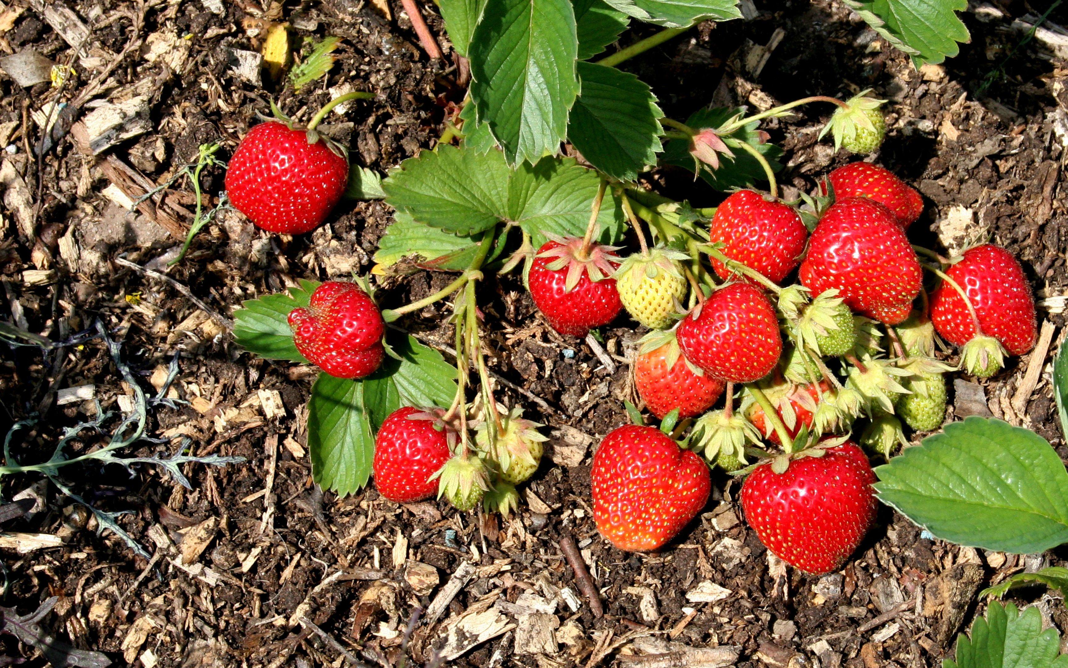 Strawberry Elsanto