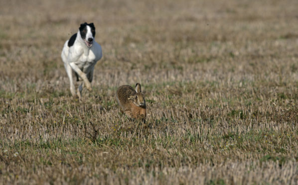 Incidents of hare coursing are becoming more common in Angus.