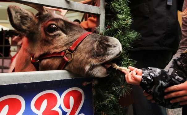 The reindeer being fed by a child in the Wellgate on Thursday.