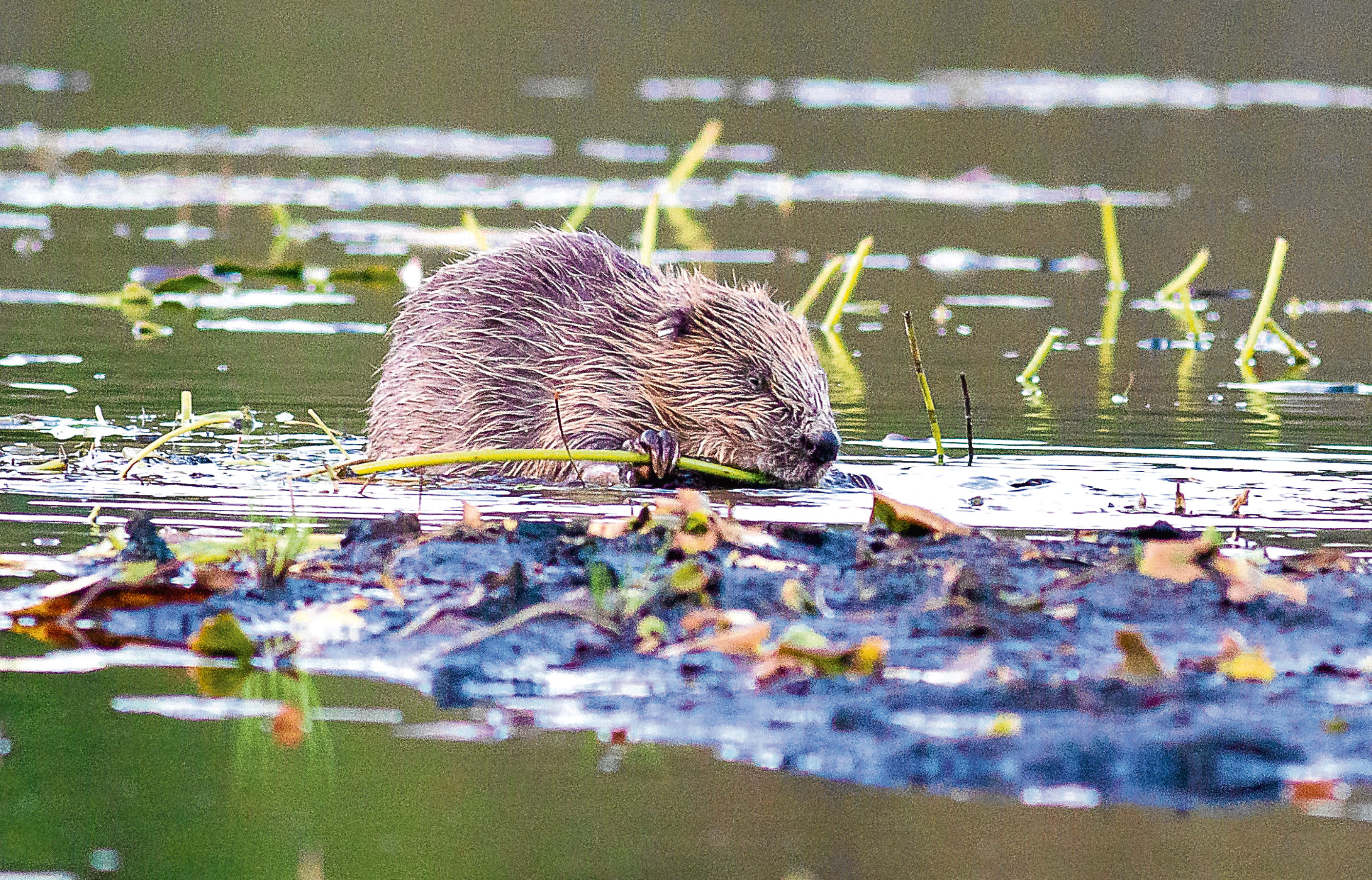 A beaver pictured in Argyll and Bute.