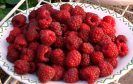 Autumn Bliss raspberries picked in October