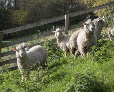 """Bowmont fleeces have been used to produce a fabric called the """"great Northern cloth"""