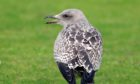A young gull in Carnoustie.