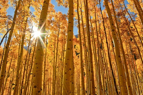 The sun shines through a grove of Aspen trees.
