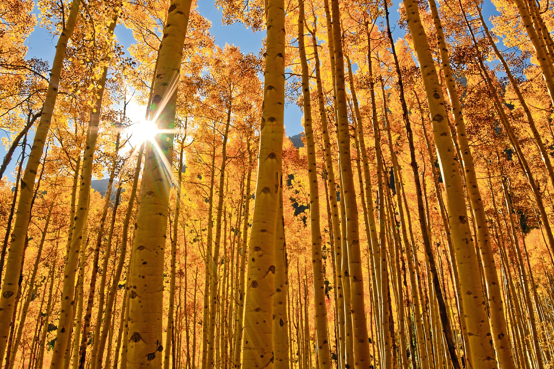 The sun shines through a grove of Aspen trees.