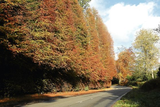 General view of the Meikleour Beech Hedges, near Meiklour in the autumn sun.   Meikleour Beech Hedge