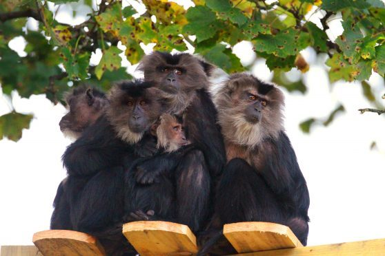 Macaque monkeys at Camperdown Wildlife Centre.
