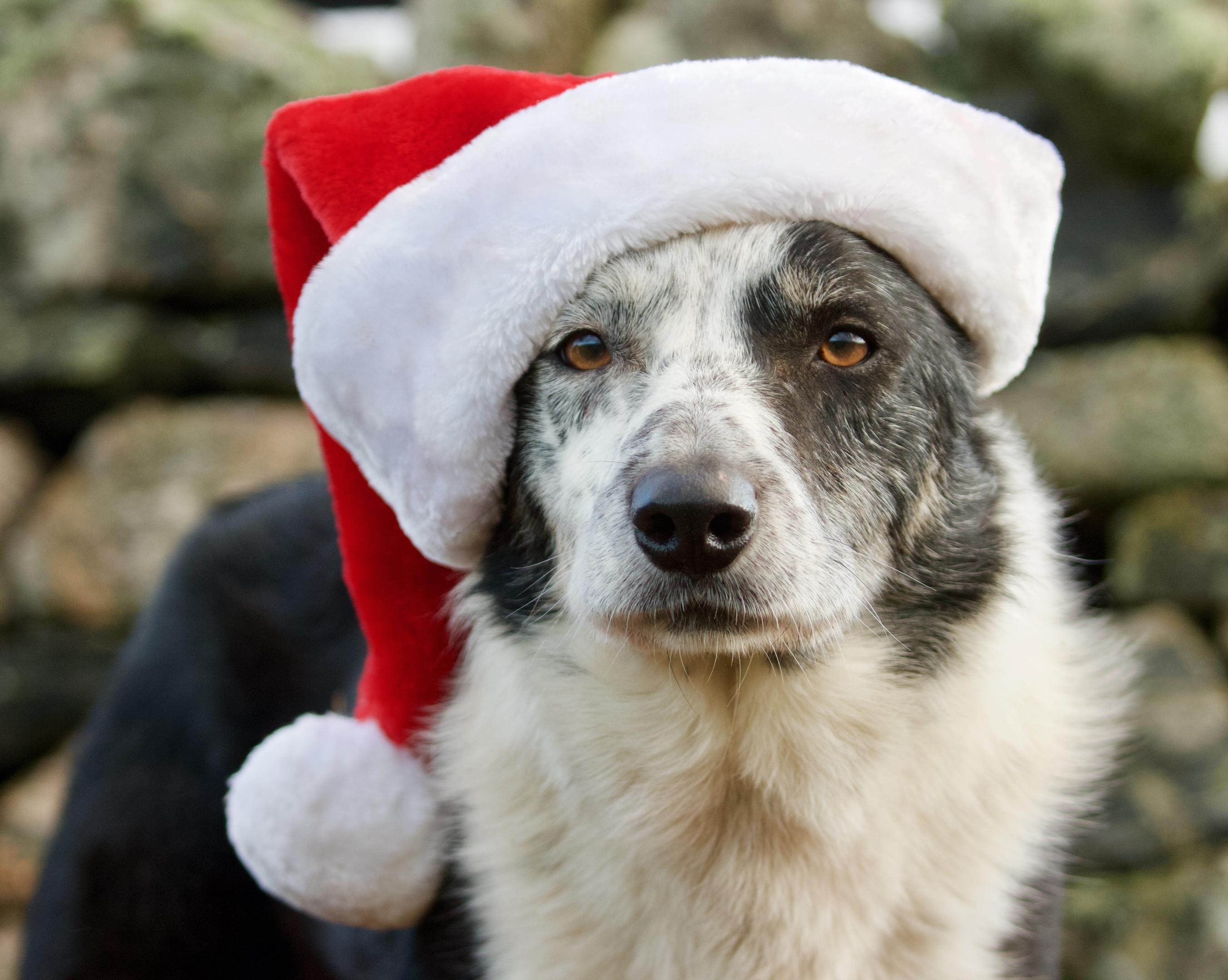 Jock, one of the Armadale farm sheepdogs, has embraced the seasonal spirit