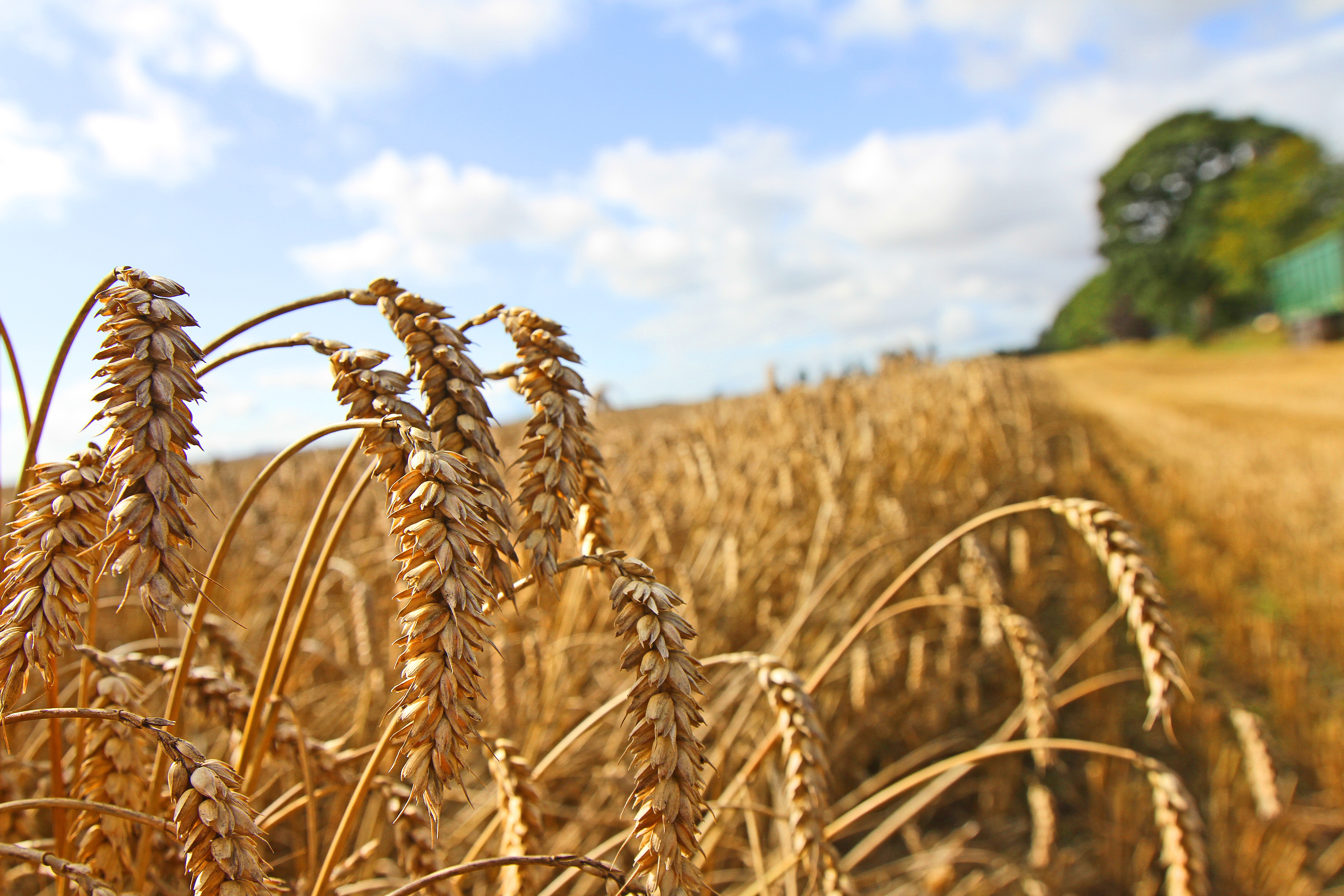 The distilling industry is the main customer for wheat in central and northern Scotland
