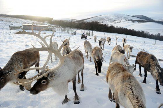 The Cairngorm Reindeer Herd.
