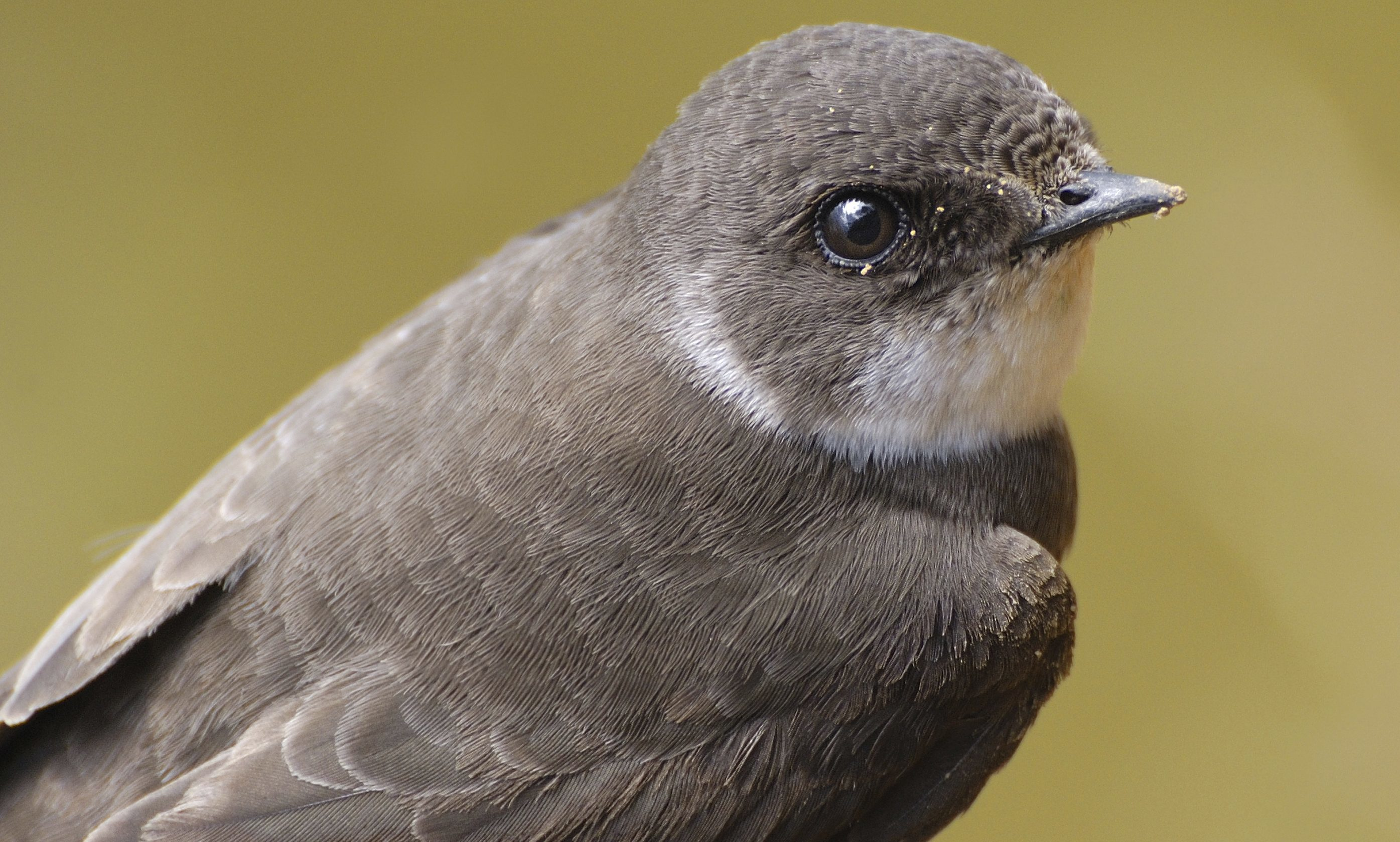A Sand Martin, protected under the Wildlife and Countryside Act.