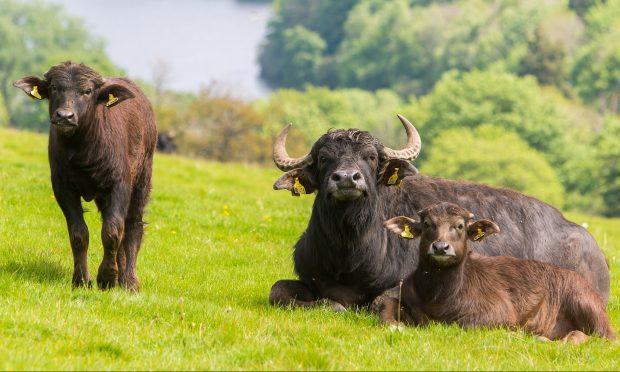 Buffalo at Puddledub Farm.
