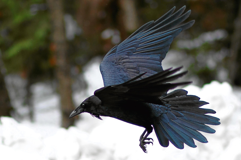 Raven flying above snow, California, Yosemite National Park, Taken 11.16 Copyright David Hoffmann