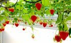 Abbey Fruit enjoys a productive strawberry harvest until late December with the help of innovative greenhouses.