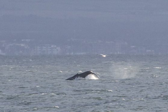 Humpback whale has been spotted feeding off coast between Kinghorn and Aberdour