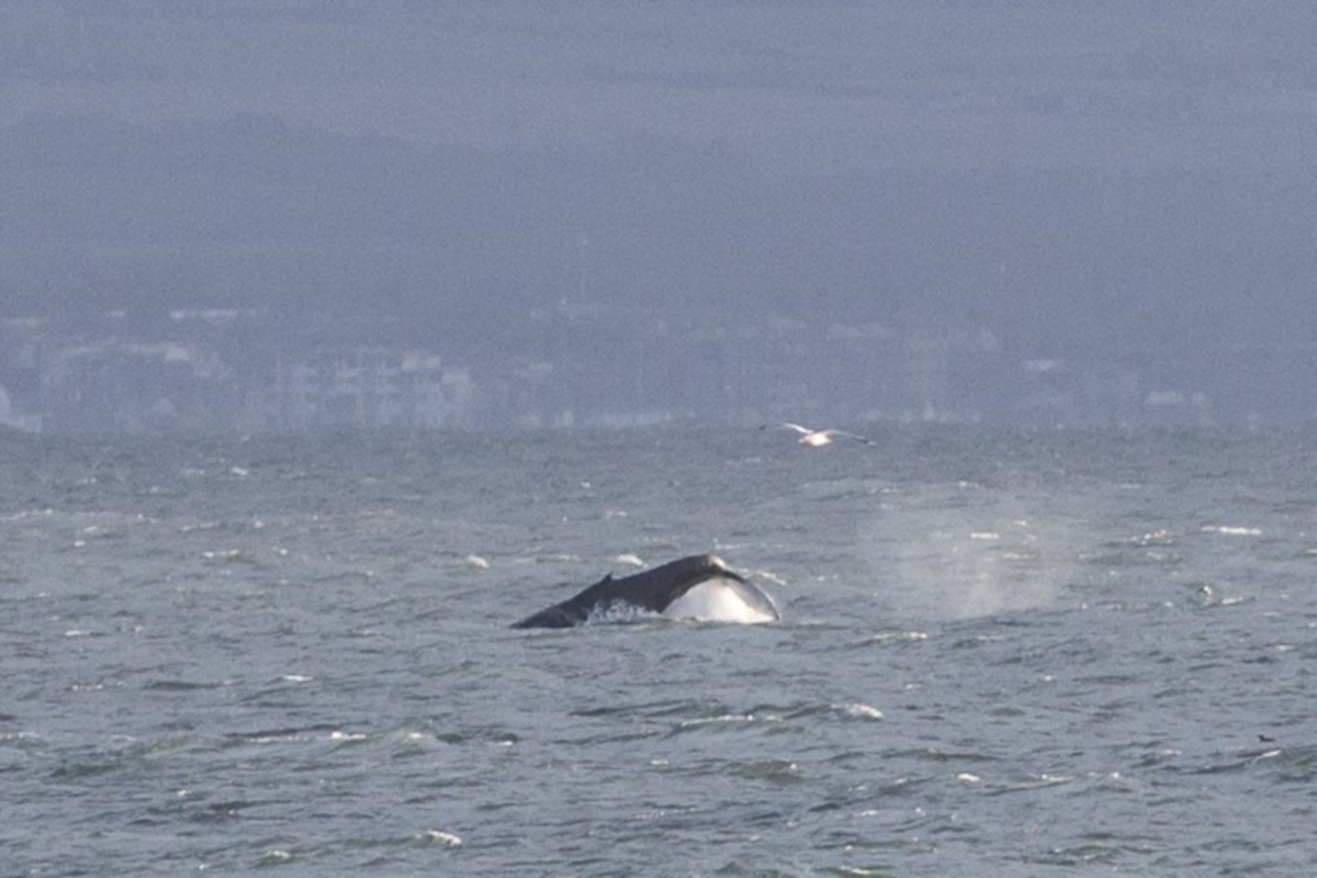The humpback whale off Kinghorn.