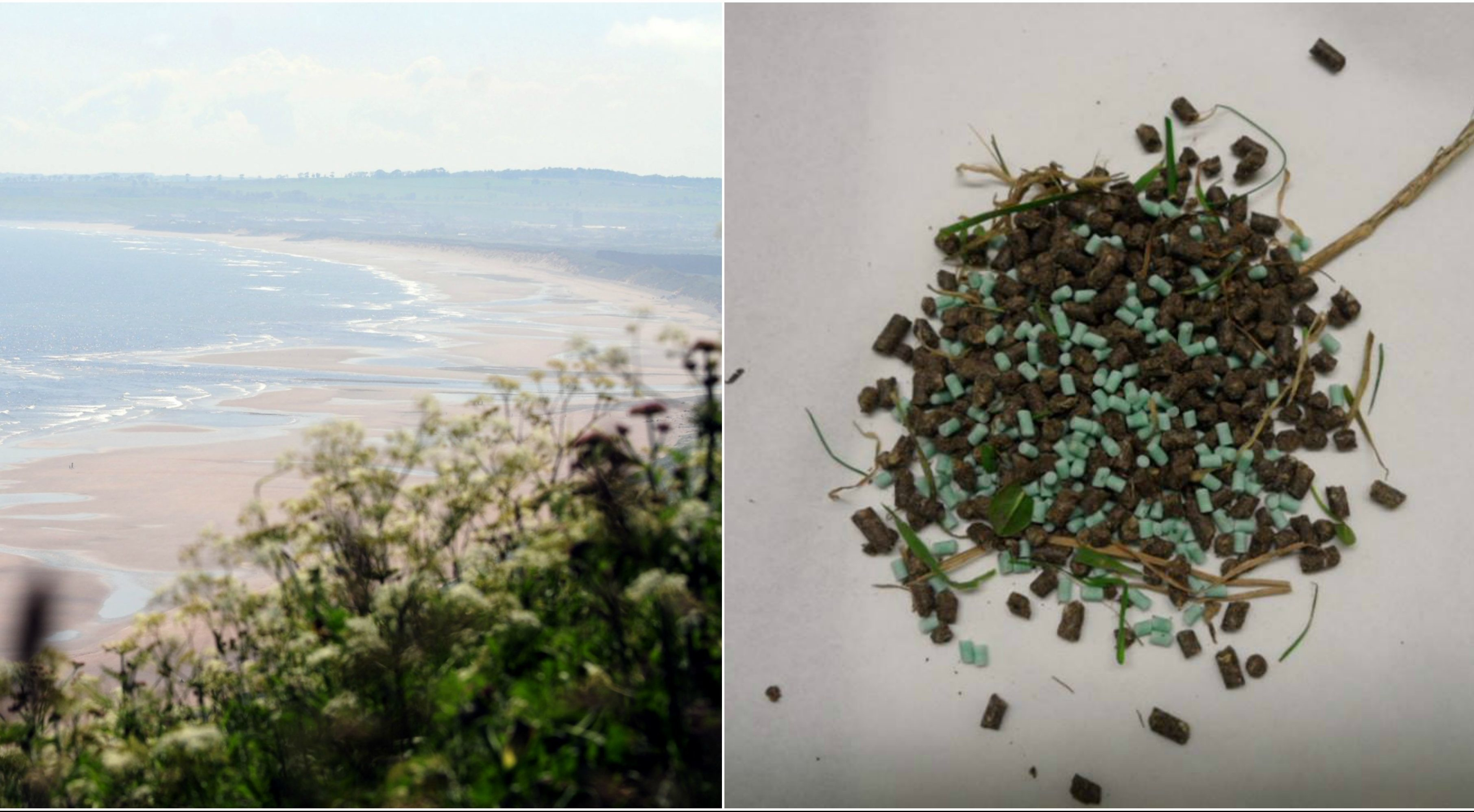 Poisoned bait (right) was eaten by an animal near St Cyrus.