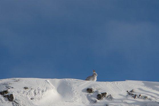 Mountain hare at Glenshee