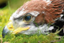 The golden eagle hatched at a site in the Scottish Borders in 2017. Picture: Saltire News.