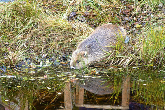 One of the beavers successfully reintroduced to Knapdale Forest in Argyll and Bute in an official trial.