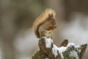 Red squirrels are one of Scotland's iconic species.