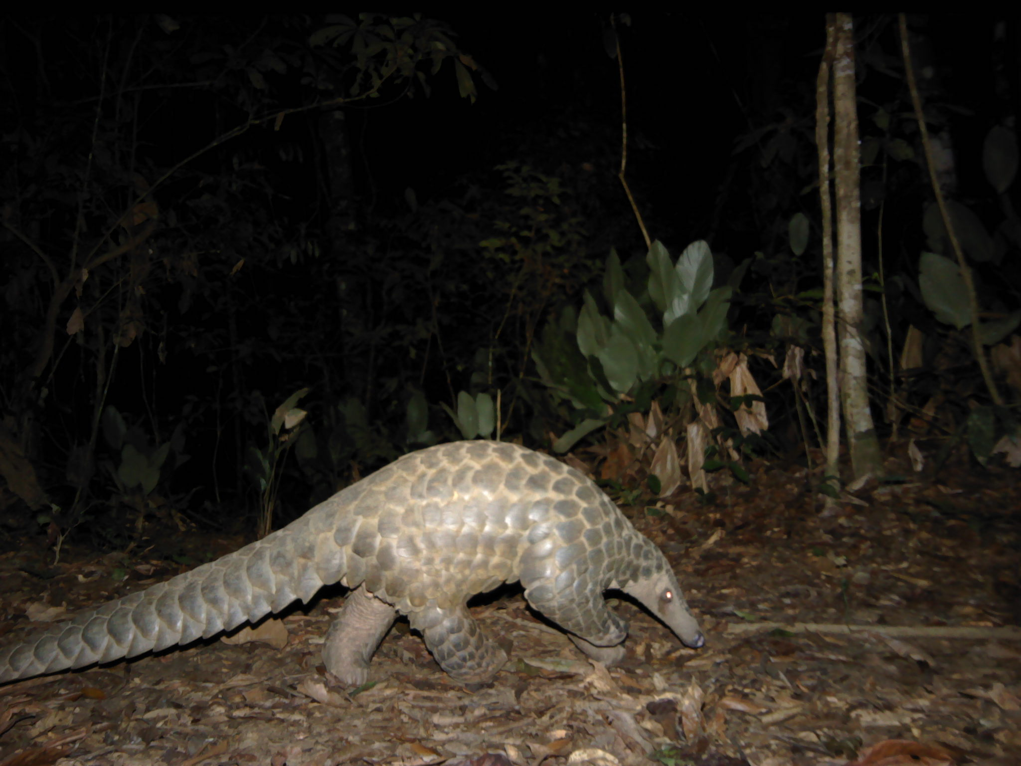 Giant Pangolin are primarily nocturnal animals and feed predominantly on ants and termites. Their existence is under threat.