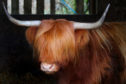 The Rannoch fold of Highlanders can be seen at most of the summer shows